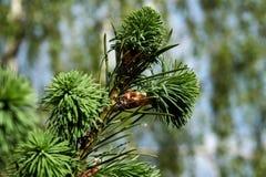 Las ramas jovenes de la primavera atavían fotografía de archivo