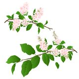 Las ramas rosadas de la lila fijaron el ejemplo del vector del vintage del fondo natural editable Imagen de archivo libre de regalías