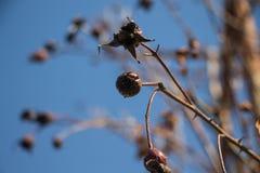 Las ramas secas de subieron Fotografía de archivo libre de regalías