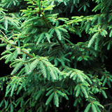 Las ramas verdes de un árbol o de un pino de la piel pueden utilizar como fondo, clo Imagenes de archivo