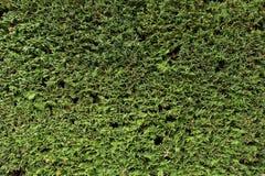 Las ramas verdes frescas con el corte secan las ramitas como textura Corte la cerca del seto Foto de archivo libre de regalías