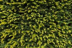 Las ramas verdes frescas con el corte secan las ramitas como textura Corte la cerca del seto Imágenes de archivo libres de regalías
