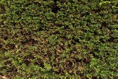 Las ramas verdes frescas con el corte secan las ramitas como textura Corte la cerca del seto Imagen de archivo libre de regalías