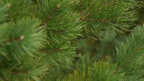 Las ramas verdes son abeto o pino Primer de la rama del pino El vídeo del tiroteo de una cámara fotográfica, el foco se mueve des almacen de metraje de vídeo