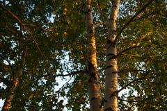 Las ramas y el tronco del abedul con las hojas miran para arriba Escena del verano Foto de archivo