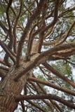 Las ramas y el tronco del pino Imagen de archivo