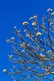 Las ramificaciones de la flor del Plumeria Fotos de archivo libres de regalías