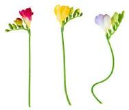 Las ramitas de fresias frescas florecen en pote de madera Imagen de archivo