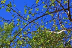 Las ramitas del abedul con el brillo verde joven se van Fotos de archivo libres de regalías