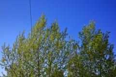 Las ramitas del abedul con el brillo verde joven se van Foto de archivo libre de regalías