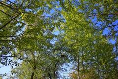 Las ramitas del abedul con el brillo verde joven se van Fotografía de archivo libre de regalías