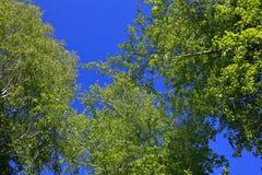 Las ramitas del abedul con el brillo verde joven se van Fotos de archivo