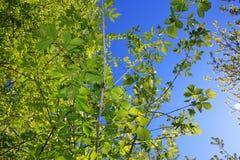 Las ramitas del abedul con el brillo verde joven se van Imagen de archivo