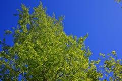 Las ramitas del abedul con el brillo verde joven se van Imagenes de archivo