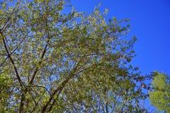 Las ramitas del abedul con el brillo verde joven se van Foto de archivo