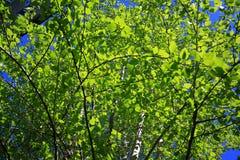 Las ramitas del abedul con el brillo verde joven se van Imágenes de archivo libres de regalías