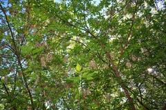 Las ramitas del abedul con el brillo verde joven se van Imagen de archivo libre de regalías
