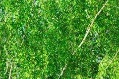 Las ramitas jovenes de los árboles de abedul del fondo verde del follaje se van en el tiempo de primavera, cielo azul, luz del so Fotografía de archivo libre de regalías
