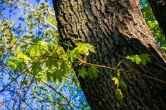 Las ramitas jovenes del arce con las hojas verdes claras son encendidas por la luz del sol de activación de la primavera Fotografía de archivo