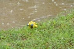 Las ranas amarillas están jugando Fotografía de archivo libre de regalías