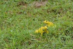 Las ranas amarillas están jugando Fotografía de archivo