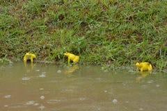 Las ranas amarillas están jugando Imagen de archivo