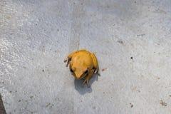 Las ranas amarillas son venenosas en Asia fotografía de archivo libre de regalías