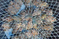 Las ranas fueron capturadas en el cubo azul cubierto con la red en mercado fresco Imágenes de archivo libres de regalías