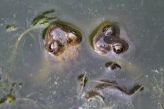 Las ranas observan en la charca Fotos de archivo