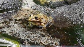 Las ranas pertenecen a la orden del Anuras que es constituido por una gran diversidad de la especie almacen de metraje de vídeo
