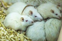 Las ratas blancas del laboratorio presionadas firmemente cara a cara imágenes de archivo libres de regalías