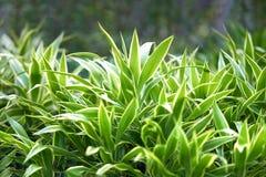 Las rayas blancas afilan el arbusto largo de las hojas con la luz del sol imagen de archivo libre de regalías