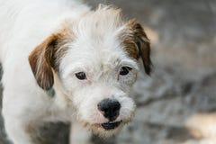 Las razas desiguales de un perro están mirando fijamente Fotografía de archivo libre de regalías