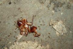 Las reses muertas de cucarachas, rodeadas por las hormigas, se utilizan como comida fotos de archivo libres de regalías
