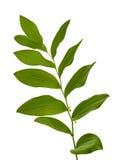 Las rośliny tła biel Zdjęcie Stock