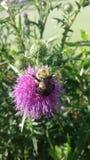 Las rodillas de la abeja Foto de archivo libre de regalías