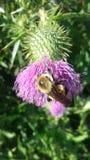 Las rodillas de la abeja Fotografía de archivo