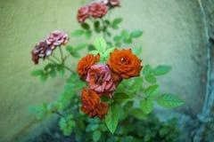 Las rosas Imagenes de archivo