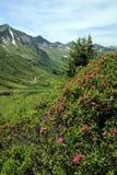 Las rosas alpestres Foto de archivo libre de regalías