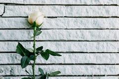Las rosas amarillas pusieron contra la pared para hacer la tierra negra Imagen de archivo libre de regalías