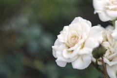 Las rosas amarillas y blancas en verde empañaron el fondo Foto de archivo