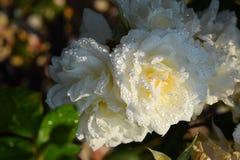 Las rosas blancas se cierran para arriba en una rosaleda Fotos de archivo
