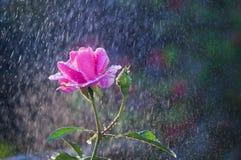 Las rosas rosas claras en el jardín en verano llueven Imagenes de archivo