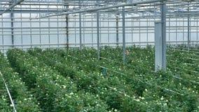 Las rosas crecen sobre los tubos de riego llano almacen de video