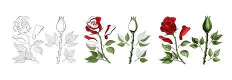 Las rosas dan el dibujo y coloreadas Un capullo de rosa floreciente Ilustración del vector stock de ilustración