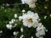 Las rosas de arbusto blancas separaron las flores grandes de los brotes Rosas de florecimiento en primavera y comienzo del verano imagen de archivo libre de regalías