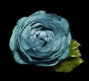 Las rosas de la flor de la turquesa en el negro aislaron el fondo con la trayectoria de recortes ningunas sombras Rose con las ho Fotos de archivo