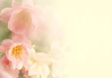 Las rosas dulces del color florecen en suavidad y empañan estilo en textura del papel de la mora Imagen de archivo libre de regalías