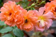 Las rosas florecientes del color de color salmón, cierre para arriba Fotografía de archivo