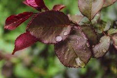 Las rosas hermosas cercanas hojean lluvia del agua caen el fondo del verde del día de verano imágenes de archivo libres de regalías